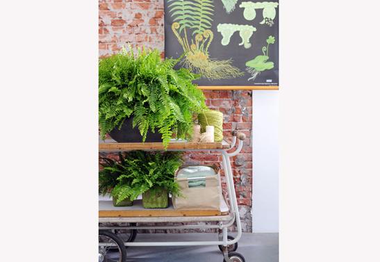 krulvaren-varen-woonplant-april-2014-bloemenbureauholland-547x377 Ze Houseplant on