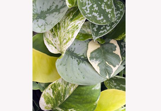 bladeren-van-epipremnum-scindapsus-bloemenbureauholland-547x377