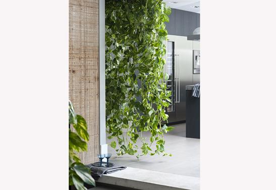 epipremnum-scindapsus-hangplant-bloemenbureauholland-547x377