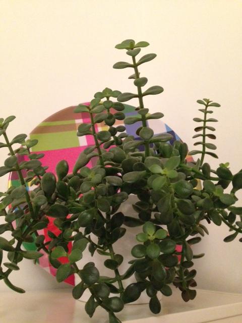 Vetplantje 1